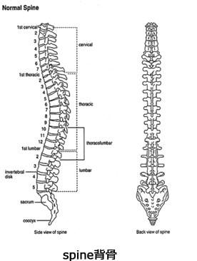 人間の背骨は、24個の椎骨で形成され、横から見た際に、本来S字のカーブを描いています。